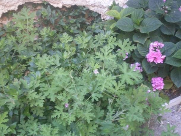 arbaroriza fragrant geranium image