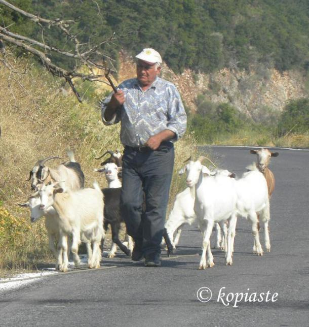 greece shepherd and goats image