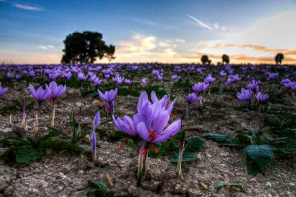 Crocus photo image