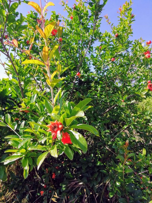 pomegranate blossoms image