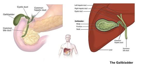 Gallbladder (organ) image