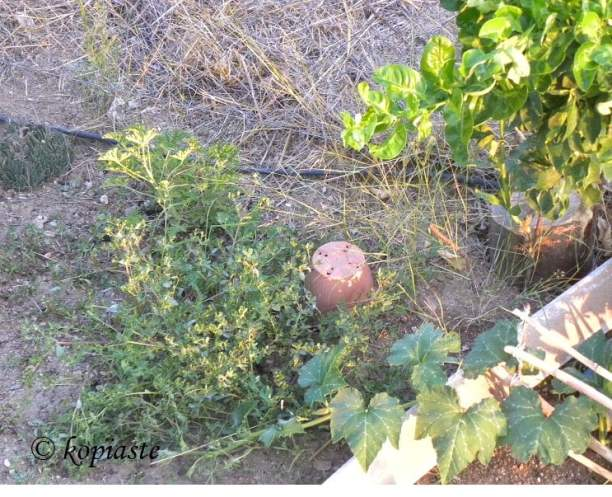 Purslane in garden