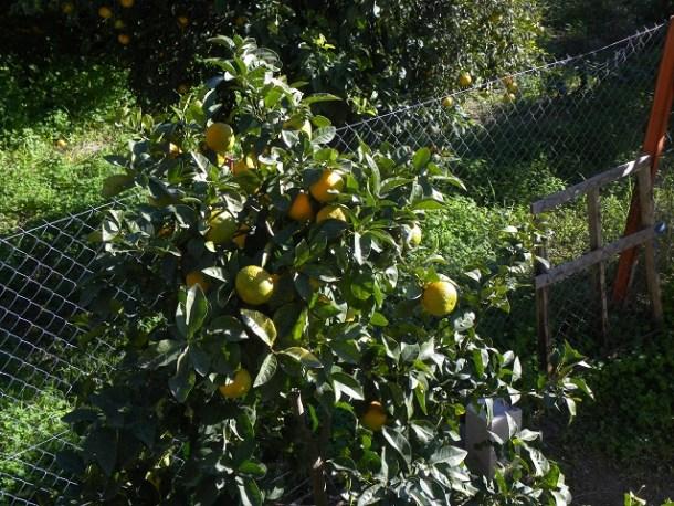 Seville or Bitter oranges