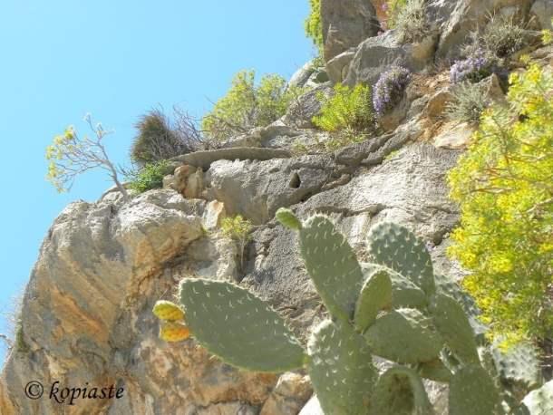 rangosykia-prickly-pear-cactus