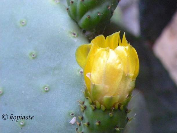 prickly-pears-flower