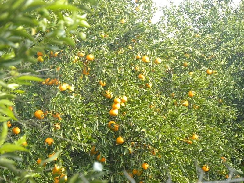 Mandarins on the tree2