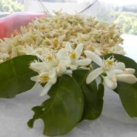 How to Make Citrus Blossom Water using a pot, with Video