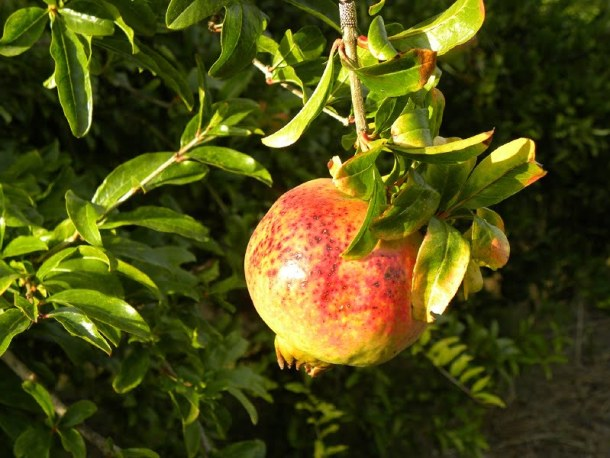 Pomegranate on the tree image