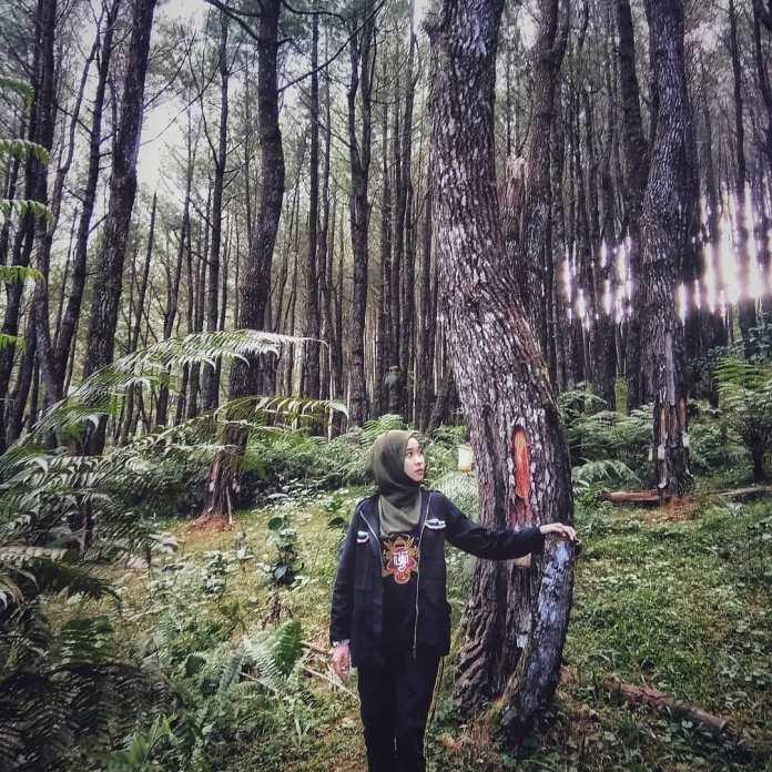 Hutan Pinus Lajoanging