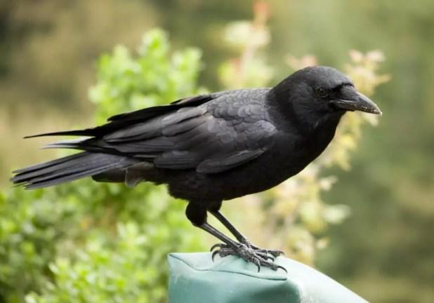 Crow-mount-on-Jar