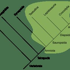 Labelled Diagram Of Agama Lizard Er Movie List Phylogeny  Koryos Writes