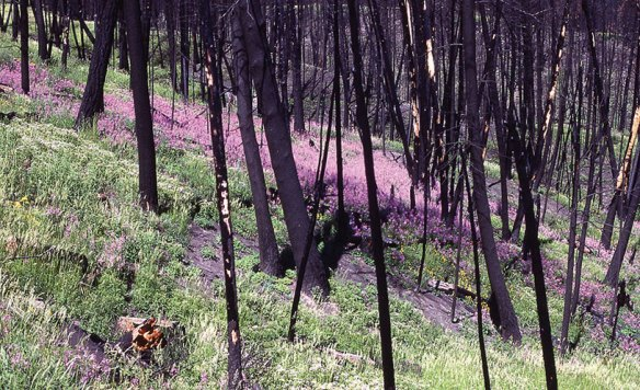 The regenerative power of nature grows more beautiful after a devastating forest fire at Yellowstone Park in 1988. photography | Wikimedia Commons, Jim Peaco