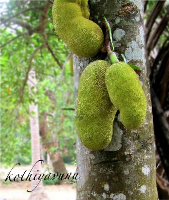 Jack fruits on the tree