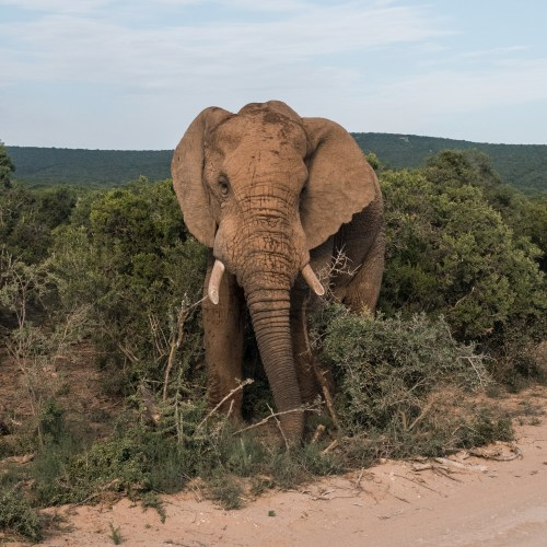 Addo National Park is recognized for their large herds of Elephants