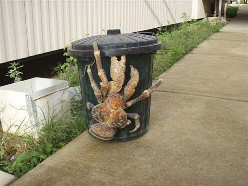 Giant coconut crab embracing a trash can
