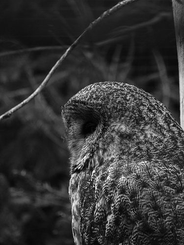 owl black and white photo