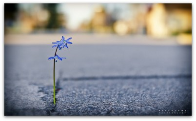 fleur_bitume