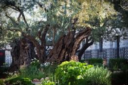Un tel olivier, au jardin de Gethsémani, aurait été un arbuste du temps de Jésus.