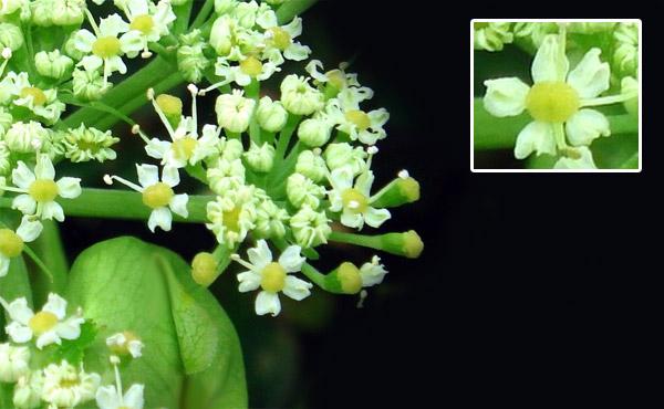 Ashitaba  Verwendung Wirkung und Anbau