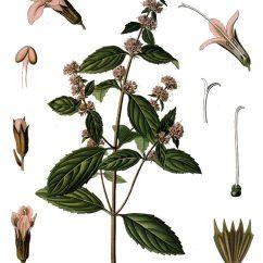 Parts Of A Flowering Plant Diagram 2002 Chevy Avalanche Problems Pfefferminze - Verwendung, Wirkung Und Anbau