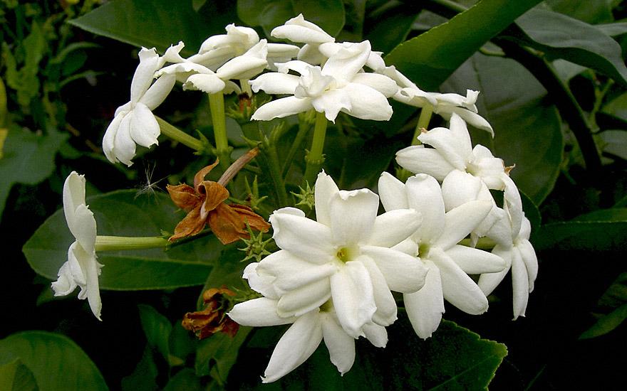 Arabischer Jasmin Pflanze  Jasminum sambac  Jasmin  JaborosaJojoba  Pflanzen  Saatgut