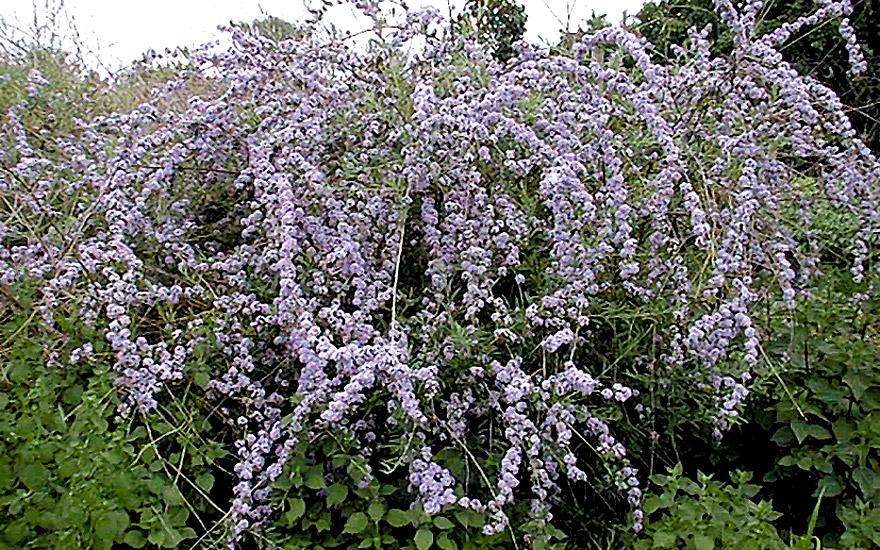 Pflanzen Und Saatgut Salbei Suessholz S Einzelsorten Haengender Sommerflieder Pflanze