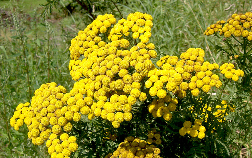 Rainfarn Pflanze  Tanacetum vulgare  Rainfarn