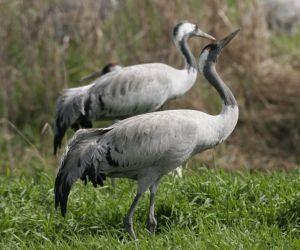 15 crane species kraniche