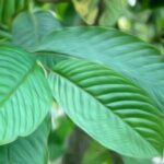 green-vein-kratom