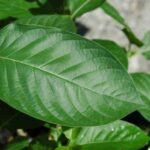 white-vein-kratom