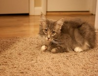 How To Get Cat Urine Smell Out of a Carpet - Kravelv