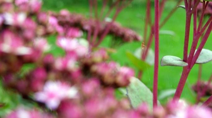 Fette Henne lila Herbst