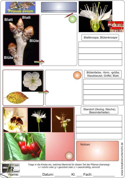 Steckbrief Kirsche Prunus avium