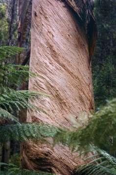 Australia - Tasmania - Mount Field National Park - Gum Tree