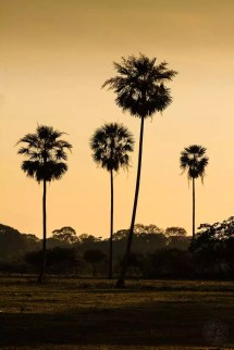 Brazil - Pananal - Palm Tree