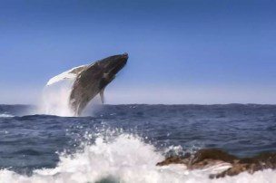 Hawaii - Big Island 001 Jumping Whale