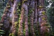Trees - 0001 - Tasmania