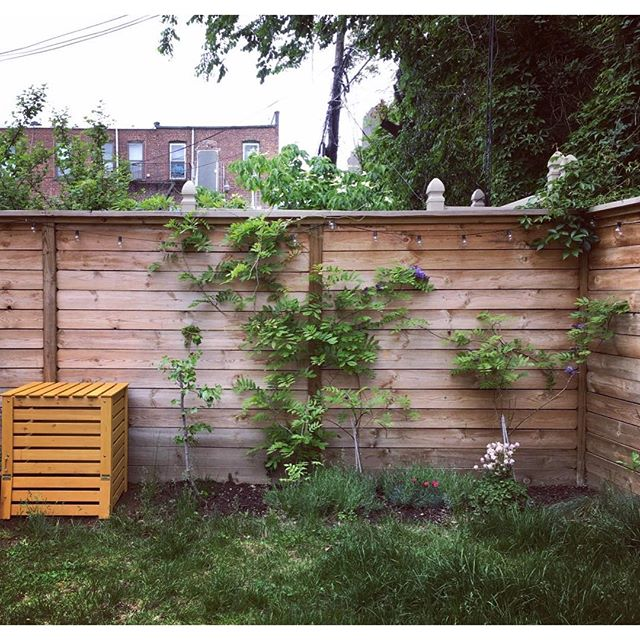 Garden success: wisteria blooms, grape tree grows, compost set up. Tomorrow I will mow the lawn...