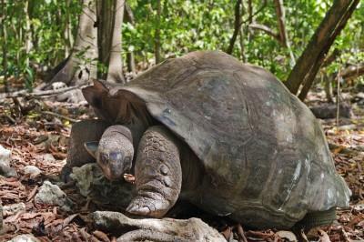 Giant Tortoise from the Seychelles