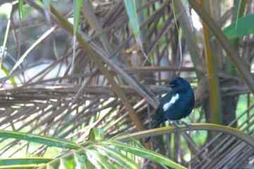 Seychelles Magpie Robin