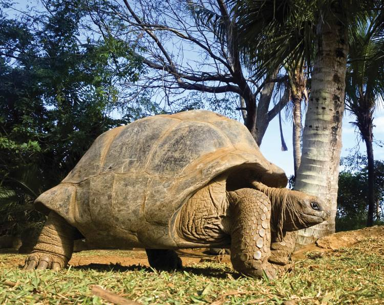 At least 100,000 plus Giant Aldabra tortoises roam the atoll and their total biomass is estimated to exceed that of all the grazers on the Serengeti plains.