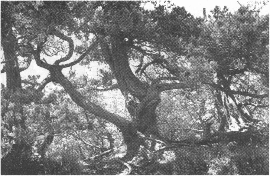 Можжевеловый лес