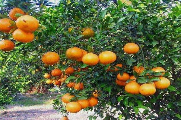 संतरे की बागवानी