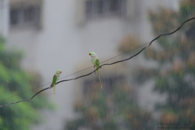 Parakeets in the rain