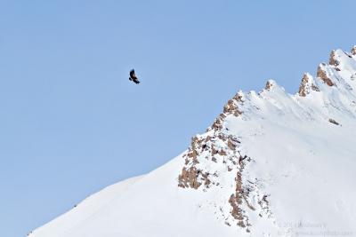 Himalayan Griffon over the gorge