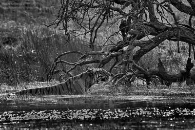 Tiger Stalking in Water