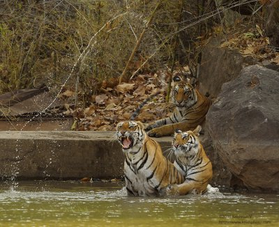 Tiger Play in Water