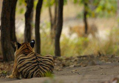 Tiger watching tiger