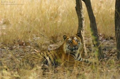 Tiger Sitting under a tree
