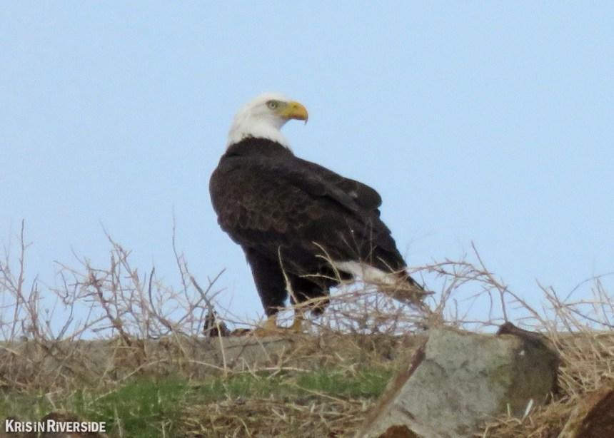 Bald Eagle at Lake Mathews - Jan 2016